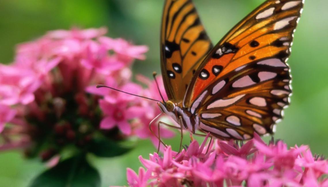 butterfly-pink-flower-butterflies-animals_289332